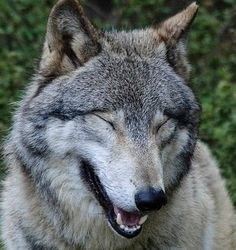 You Like Me I Know It.--  Wolfwatcher Photo