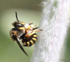Wool carder bee, Anthidium manicatum, no hands - https://beesinafrenchgarden.wordpress.com/2015/06/09/anthidium-manicatum-carding-wool/