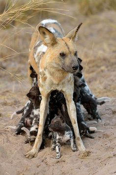 thegreenwolf:twofacedsheep:While not terribly abnormal or noteworthy, I thought this particularly pale (possibly older) African Wild Dog was interesting.Original Source.OH MY GODS ALL THE PUPPIES.