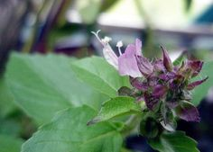 Sweetscented Basil Seeds Ocimun sanctum Herb Seed by Most Beautiful Gardens, Herb Seeds, Rare Flowers, Flower Seeds, Basil, Home And Garden, Herbs, Plants, Strange Flowers