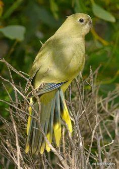 Periquito Roquero o papagayo de las rocas (Neophema petrophila). Es un ave psitaciforme de unos 22 cm y color predominantemente verde oliva, originaria de la costa de sur deAustralia, sur de Australia Occidental, y las islas mar adentro de ese continente, incluyendo laIsla Rottnest.