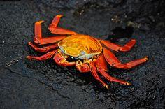 Cangrejo Grapsus grapsus en la isla Santiago, Galápagos