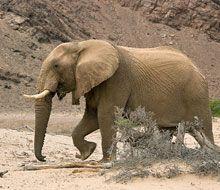 Desert-adapted elephant walking through a narrow river valley! Wildlife at Hoanib Skeleton Coast Camp Elephant Walk, Giraffe, Mountain Zebra, Ivory Trade, Namib Desert, Majestic Animals, Animal Kingdom, Dune, Wilderness