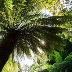 Tree fern in Trebah, a 26-acre sub-tropical garden overlooking the Helford river near Falmouth on the south coast of Cornwall. Beautiful picture.