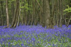 south downs walks near chichester lavender poppies - Google Search