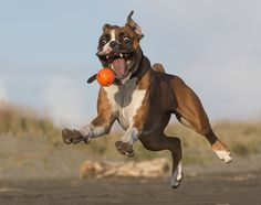 Funny Boxer Dog Face