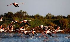 Portugal's Algarve: Sun, sea and a bird paradise - via Daily Express 02.03.2013 | Coming virtually face to beak with species rarely seen in the UK is a regular bonus of a birding break in the Algarve, home to 386 species. Already famous for its beaches, sunshine and golf, it is fast gaining a reputation as one of southern Europe's premier birdwatching venues, especially during the autumn migration. | Photo: Flamingos on Portugal's Ria Farmosa Nature