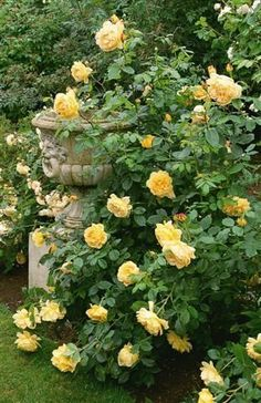 English Roses David Austin Rose, Golden Celebration (yellow roses are my fave flowers!) - This is all about landscaping ideas and how to create an attractive planting design. But before you can think about the plants you want to grow and the layout you… Rosas David Austin, David Austin Rosen, Beautiful Roses, Beautiful Gardens, English Garden Design, Home And Garden Store, Shrub Roses, Climbing Roses, My Secret Garden