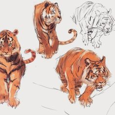 Sup guys sketching tigers - process video on channel #drawing #art #sketch #studies #tiger #wildlife