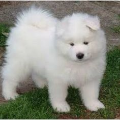 Look at this ones little ears! :) #samoyed husky