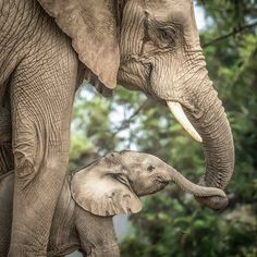 🐘Elephant trunks serve many purposes including communication. A trunk may be held out to an approaching elephant as a greeting and is also… Elephant Images, Elephant Pictures, Elephants Photos, Asian Elephant, Save The Elephants, Baby Elephants, Elephant Trunk, Elephant Love, Elephant Art