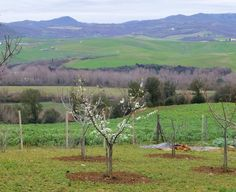 Spring is on its way at Col d'Orcia in Montalcino Brunello Di Montalcino, Tuscany, Vineyard, Spring, Outdoor, Italia, Outdoors, Vine Yard, Tuscany Italy