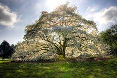Dogwood tree in Alabama