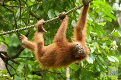 Orangutan Island - we saw this fella at Sepilok Orangutan Rehabilitation Centre