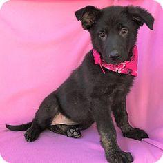 Burbank, CA - German Shepherd Dog. Meet Moira German Shepherd Puppy, a puppy for adoption. http://www.adoptapet.com/pet/17771828-burbank-california-german-shepherd-dog