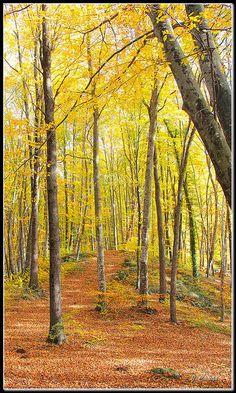 La Fageda d´en  Jordà  Garrotxa. Where Autumn is truly breathtaking. #Catalonia