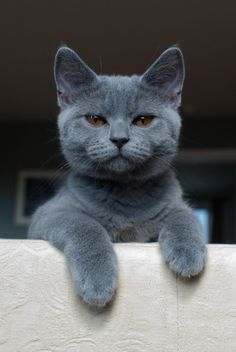 Russian Blue - The Russian Blue is a natural breed thought to have originated in northern Russia. It is noted for its short, plush, silvery blue coat, its brilliant green eyes, and its slender body type with long legs and body. This is a graceful, playful breed with a quiet temperament.