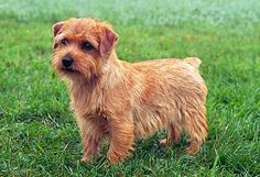Norfolk Terrier  Energetic and spry, the Norfolk Terrier does well with other animals and families. They are known for their ability to adapt to different situations, making the breed ideal for either the city or country lifestyle. They make affectionate and loyal companions and enjoy walks and spending time with their owners. The Norfolk's coat requires regular grooming, including brushing and stripping.