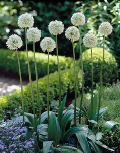 """Allium 'Mount Everest"""" flowering in late May on stems nearly a metre high Rock Garden Plants, Garden Bulbs, Garden Types, Shade Garden, Love Garden, White Plants, London Garden, Flower Garden Design, White Gardens"""