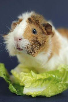 How to Potty-Train a Guinea Pig