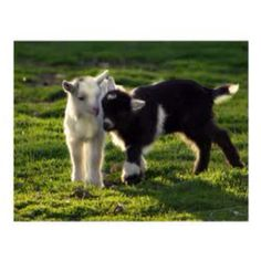 Just love goats!