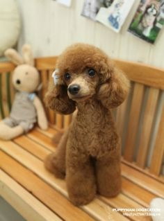 My husband would kill me but I wanna do this cut to my poodle.