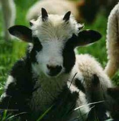 Pictures of Welsh Jacob Sheep - Bing Images  Miniature Jacob Sheep