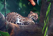 Trinidad's largest mammalian predator, the ocelot, was recently the focus of a segment on the Discovery Canada's 'Daily Planet'. The ocelot, which is native to Trinida Ocelot, Domestic Cat Breeds, Woodland Park Zoo, Gato Grande, Rainforest Animals, Clouded Leopard, Homeless Dogs, Cat Behavior, Fauna
