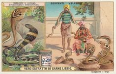 Cobra, 1903