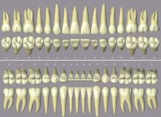 Dental Art, Dental Teeth, Dental Hygiene, Dental Implants, Dental Assistant Study, Teeth Whitening Procedure, Dental Anatomy, Tooth Chart, Dental Technician
