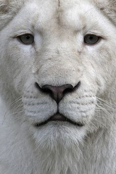White lions owe their colouring to a recessive gene; they are rare forms of the subspecies Panthera leo krugeri.  by Dirk-Jan Kraan