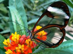An incredible butterfly with transparent wings like glass - photo 2 - Pixdaus