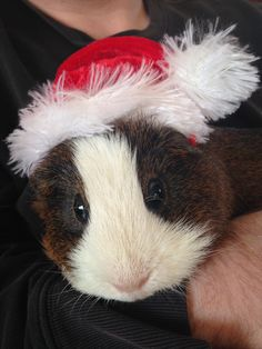Rocco the guinea pig in a Santa hat