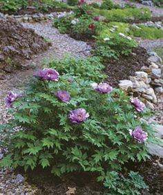 Tree peonies need good drainage. Here, 'Imitation of a Lotus Flower' thrives in a raised bed.