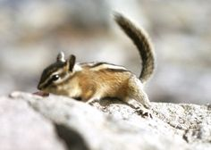 Differences Between a Chipmunk and a Squirrel | Animals - mom.me
