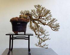 Gelonium aequoreum Bonsai by Mike Siow #bonsai #盆栽 #盆景 #bonsaitree #nature #trees