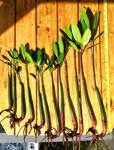8 Healthy Strong Red Mangrove Seedlings | gardengoodsonline.com