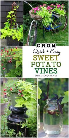 potatoes planting Creative Sweet Potato Vine Growing Tips and Ideas When It comes to quick, easy to grow, goof-proof annuals, sweet potato vine (Ipomoea butatas) is one of the best. I& show you some creative uses for these reliable, gorgeous vines. Sweet Potato Vine, Plants, Potato Vines, Vines, Growing Sweet Potatoes, Outdoor Gardens, Container Gardening, Garden Vines, Gardening Tips