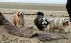 Beardies at the beach.