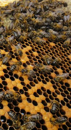 abejas / bees