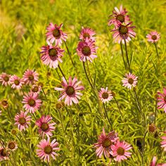 'Tennessee' Coneflower. Echinacea 'tennesseesis'. Sun perennial. Blooms ALL summer