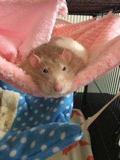 My old man rat Cinnamon watching the world go by..... #aww #cute #rat #cuterats #ratsofpinterest #cuddle #fluffy #animals #pets #bestfriend #ittssofluffy #boopthesnoot