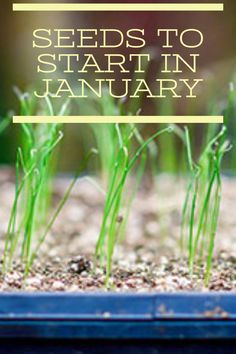 Start your organic garden now! There's many seeds that can be started in January, despite it being cold. Grow seedlings now, then transplant to your organic garden.
