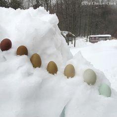Snow eggs.  Far left=Black Copper Marans egg. Far right=Ameraucana egg. Everything inbetween are Olive Eggers, a combination of a Black Copper Marans rooster and an Ameraucana hen.