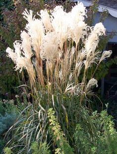 I've been looking for an ornamental grass for behind the rock wall - I just fell in love!
