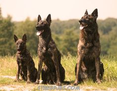 German Shepherd Rottweiler Mix | De Hollandse Herder on Pinterest | Dutch…