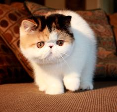 : Exotic Shorthair Cat one day I will have one!