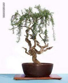 Bonsai of Rosemary✖️Art  Ideas  Home  Beauty ✖️Fosterginger @ Pinterest✖️
