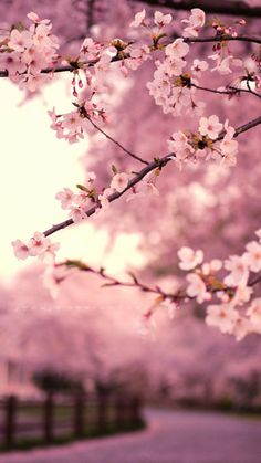 Japan #Sakura blossom #Pink wallpaper. Get it @mobile9