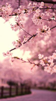 Japan #Sakura blossom #Pink wallpaper. Get it @mobile9